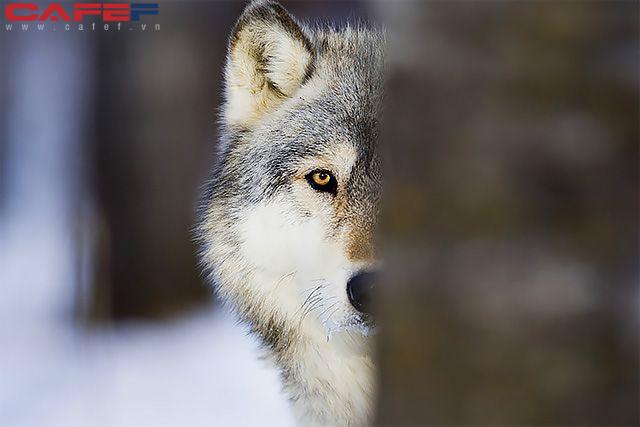 Bùng nổ mạnh mẽ nhưng khi cần, chó sói là loài giỏi kiên trì nhất.